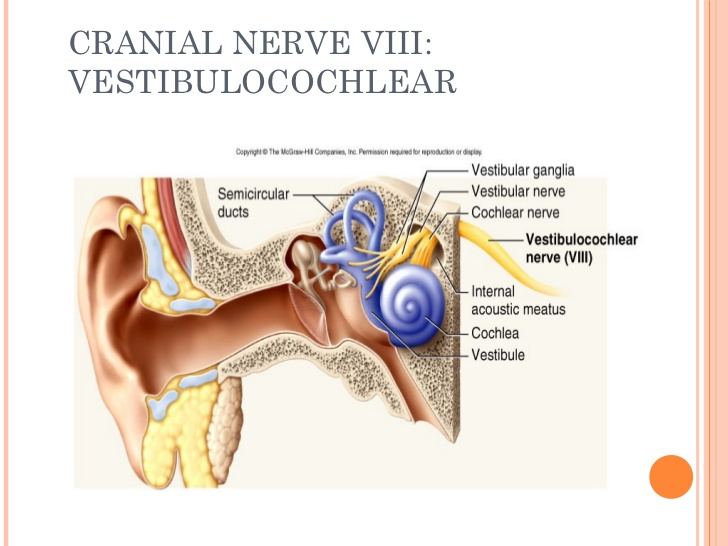 8th.cranial-nerves-20-728 - The Brain and Music